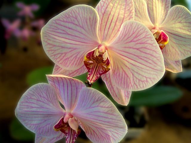 květ orchidej